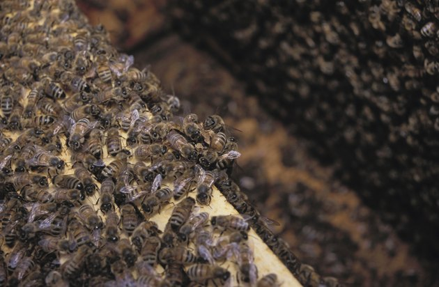 Close-up of honeybees in open hive