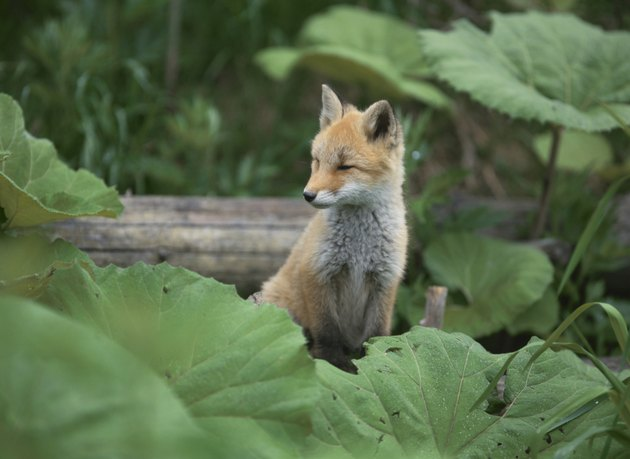 Young red fox surrounded by leaves