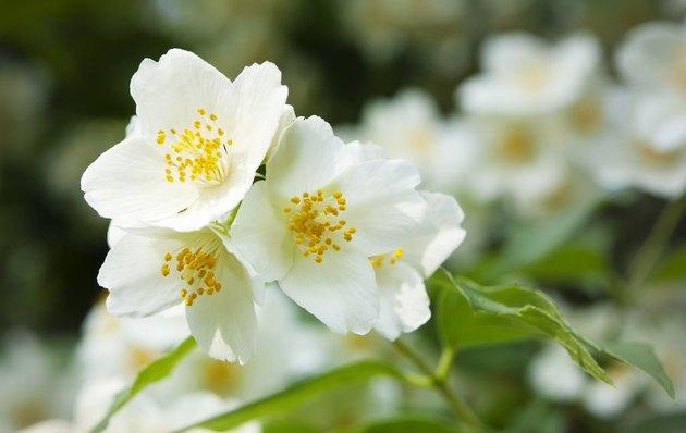 white jasmine flowers close up
