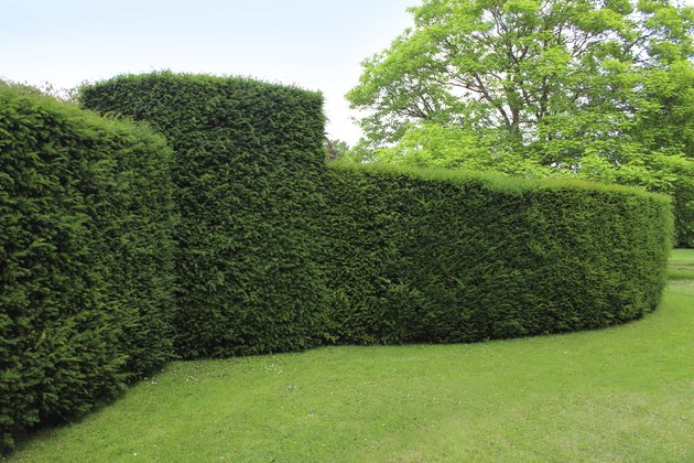 Clipped English yew hedge image / formal topiary garden (taxus baccata)
