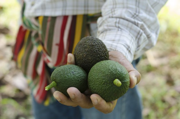 Avocados  in hand