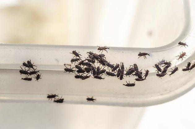 Weevil destroys rice