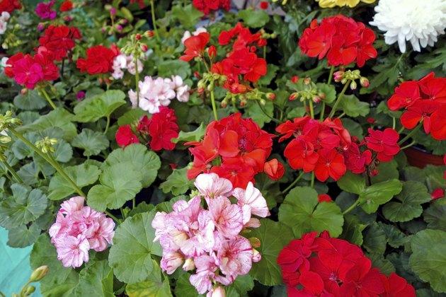 Flowers geranium