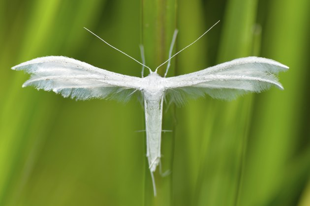 white plume moth outdoor