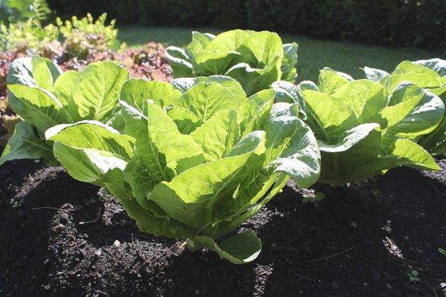Lettuce garden.