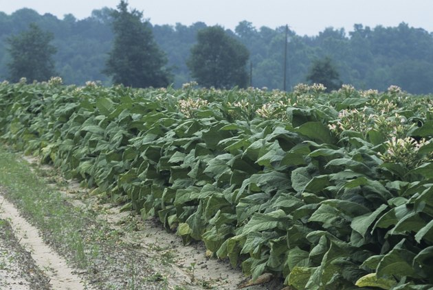 Tobacco field, early Summer
