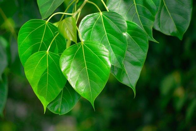 Peepal Leaf green