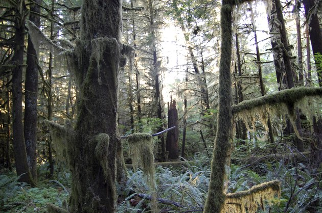 Douglas firs creating a dense, mossy landscape in the Pacific Northwest rainforest