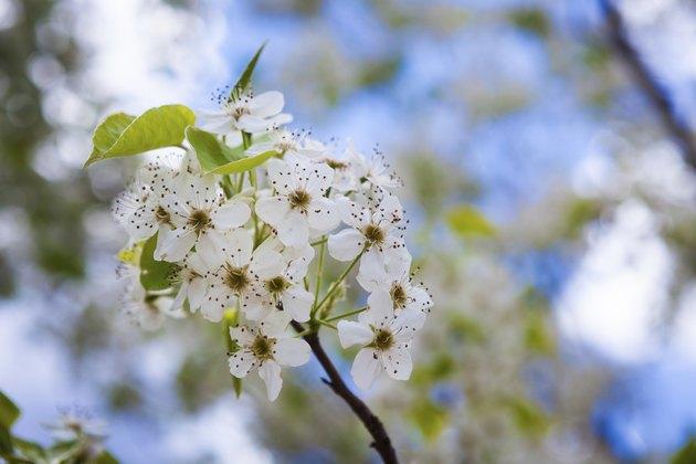 Dogwood blooms against blue sky