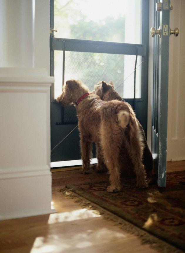 Two Irish Terriers Looking out Front Door
