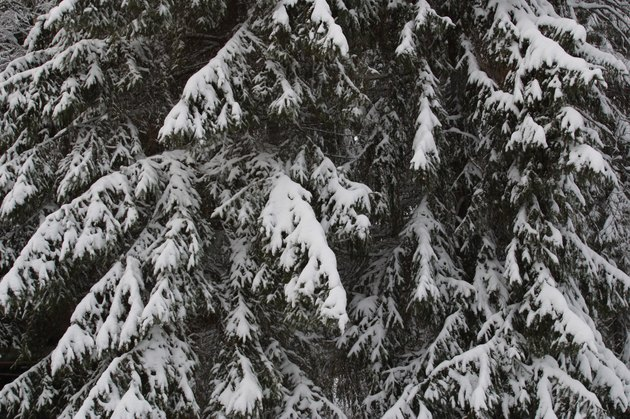 Spruce tree covered in snow