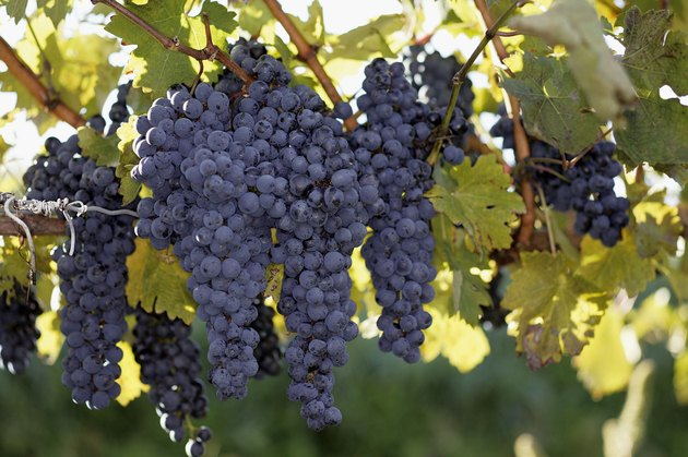 Recommended Grapes to Grow in Michigan