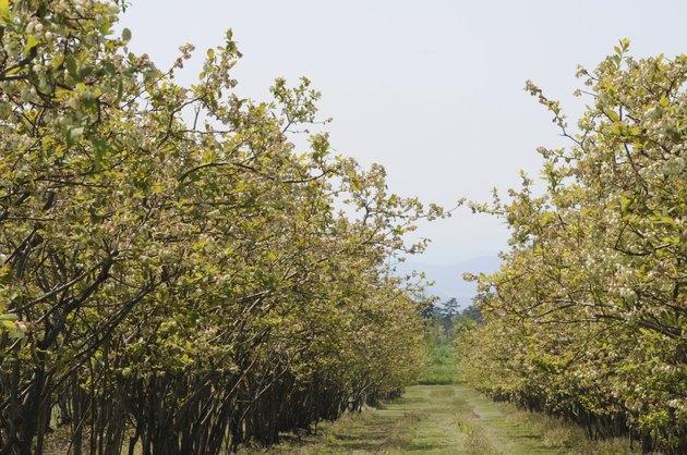 Oyama blueberry farm, Totori Prefecture, Honshu, Japan