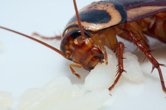 cockroach ugly