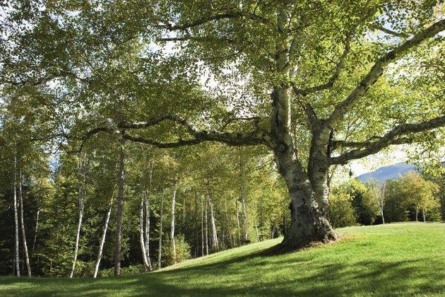 Trees in the Adirondacks, New York