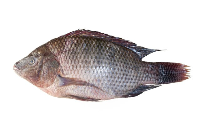 Tilapia fish isolated