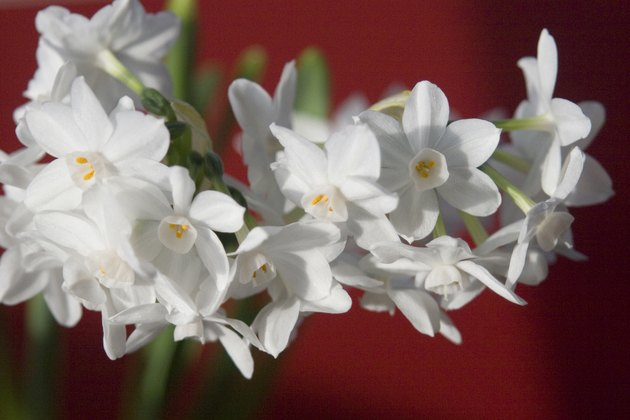 Paperwhites - Narcissus on Red horizontal