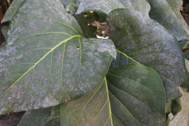 Lilac leaves with powdery mildew