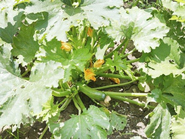regular zucchini under leaves in garden