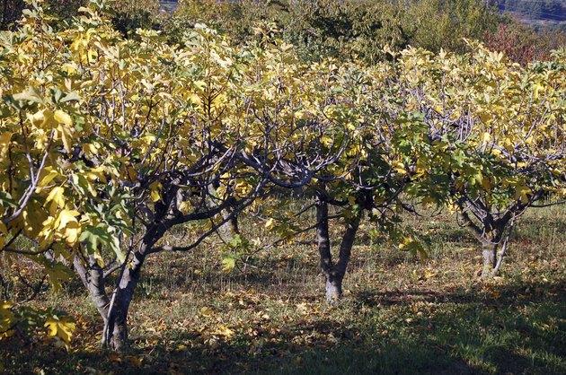 Fig trees