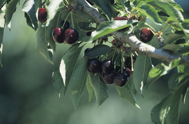 Cherry orchard with fruit close-up, late Spring
