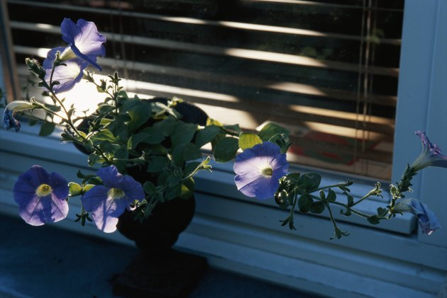 Morning glories in pot plant by window