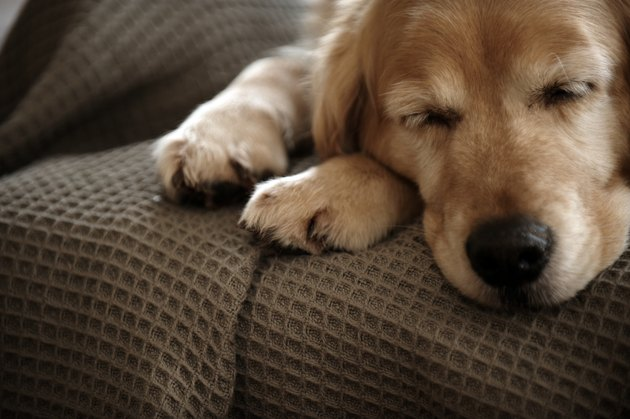 Golden retriever dog sleeping on sofa, close-up