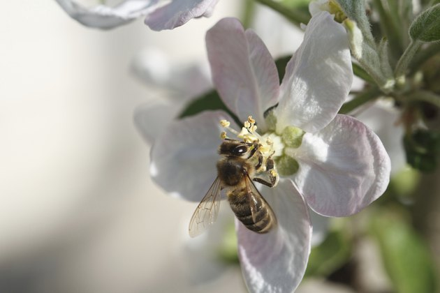 Bee on apple blossom; macro