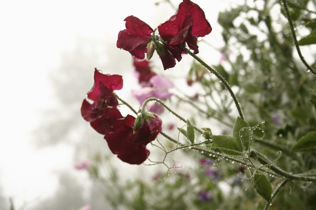 Sweet Peas with Dewdrops and Mist