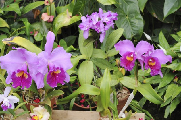 Moth orchids, Hyogo Prefecture, Honshu, Japan