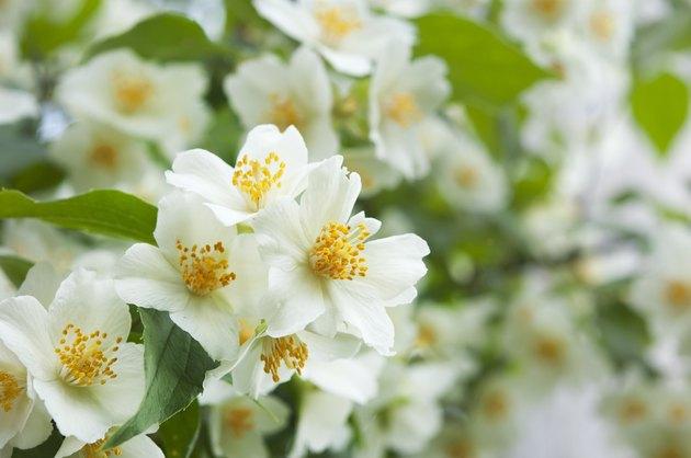 white jasmine flowers