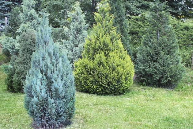 Juniper bushes in the garden
