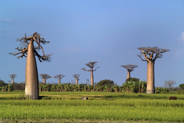 baobabs trees