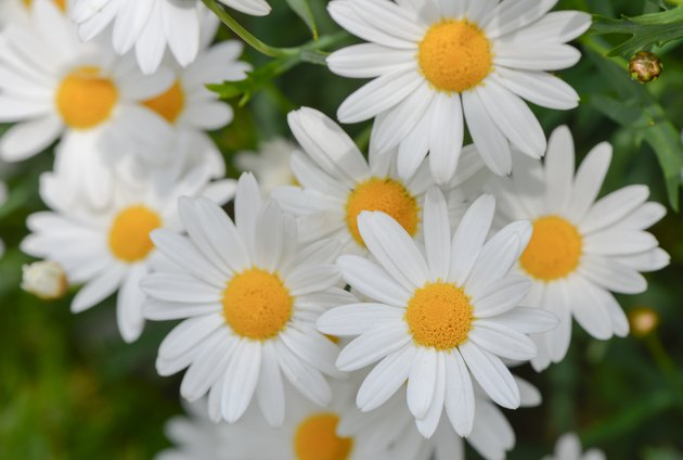 macro of beautiful white daisies flowers
