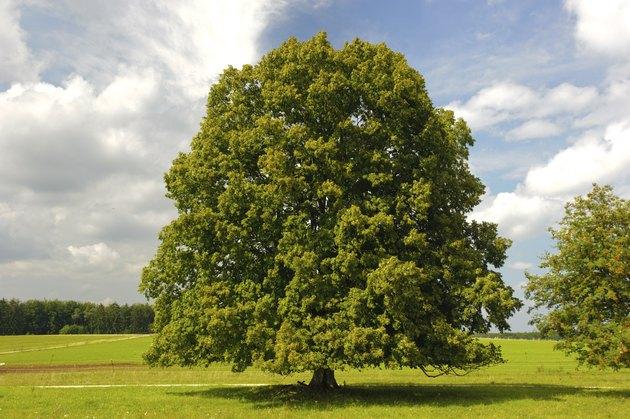 single big linden tree
