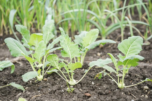 White Kohlrabi Plants