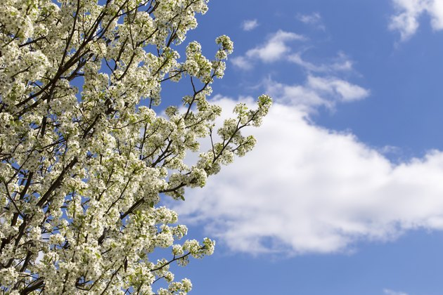 Pear Blossoms and Blue Sky