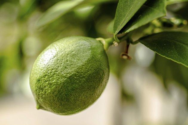 Unripe Meyer Lemon on Tree
