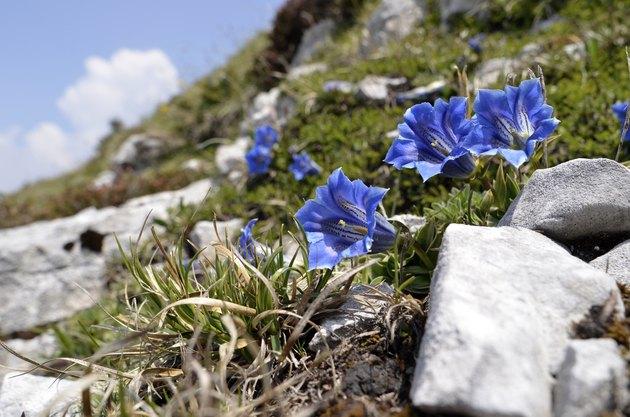 Gentian flower