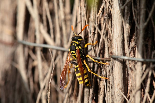 Closeup of Large wasp natural background