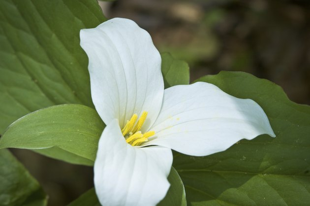 Yellow Pollen on White Trillium