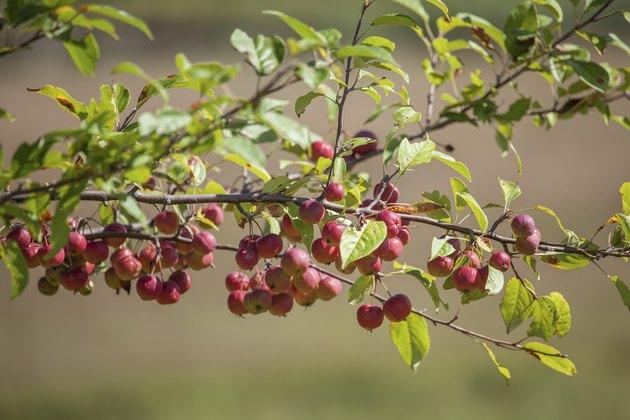 Branch Full Of Crabapples Ripening In The Sunshine
