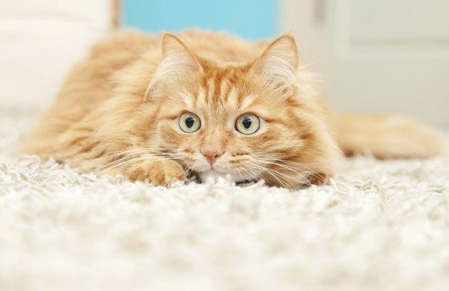 funny fluffy ginger cat lying