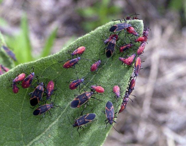 Eastern Boxelder Bug Colony