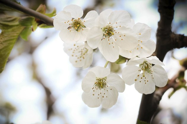 WHITE APPLE BLOSSOMS