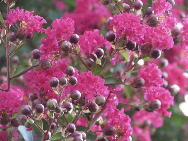 Crepe Myrtle in Bloom