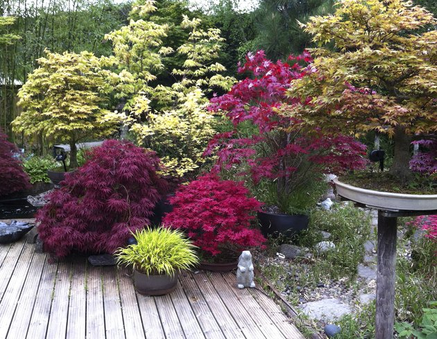 Image of maples in a domestic garden