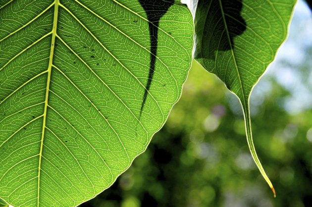 Green leaf of bodhi tree