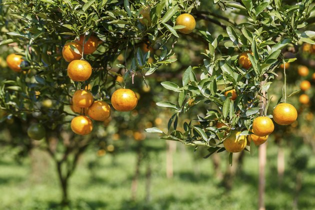 How to Fertilize Citrus Trees