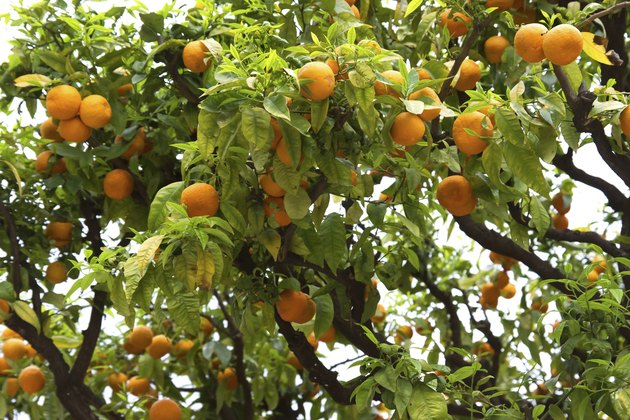 Nice - Orange tree